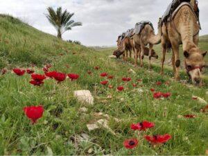 גמלים ארץ בראשית